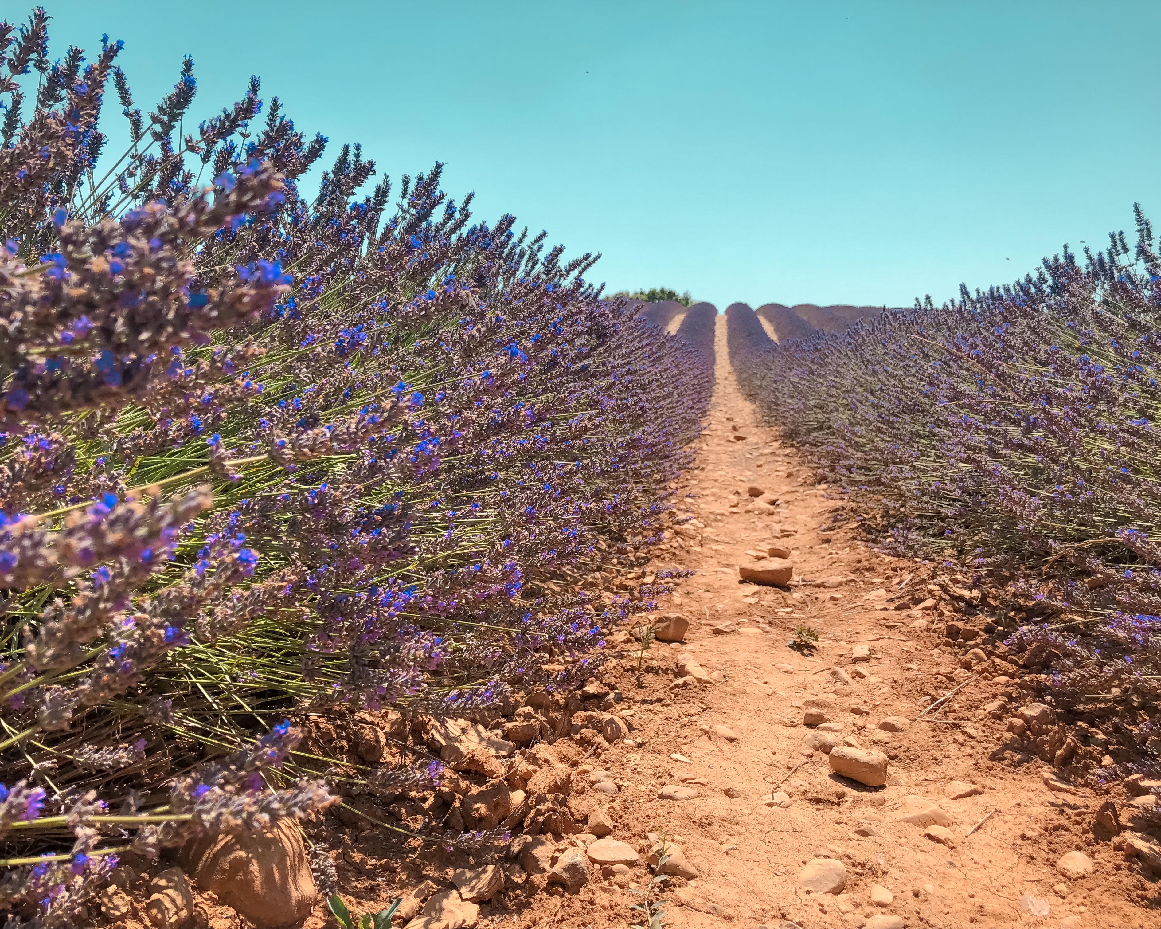 Pour beaucoup de voyageurs, les champs de lavandes sont un incontournable de Provence.